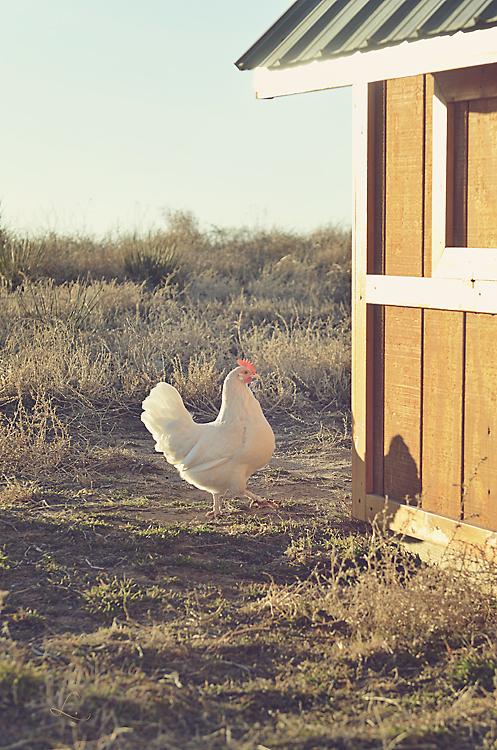 White chick CEg
